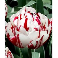 Tulpė (Tulip) Danceline