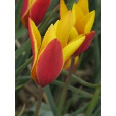 Tulpė (Tulip) Clusiana chrysantha