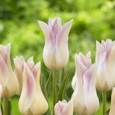 Tulpė (Tulip) Elegant Lady