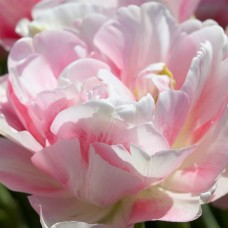 Tulpė (Tulip) Finola