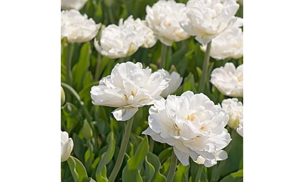 Tulpė (Tulip) Mount tacoma