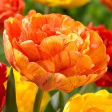 Tulpė (Tulip) Sunlover
