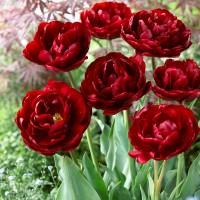 Tulpė (Tulip) Uncle Tom