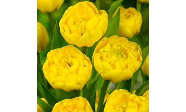 Tulpė (Tulip) Yellow pomponette