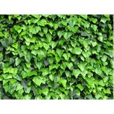 Vynvytis penkialapis (Parthenocissus quinquefolia) Engelmanii